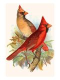 Virginian Cardinal Posters by F.w. Frohawk