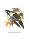 Blsck Billed Mountain Toucan Affiches par John Gould