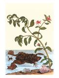 Shoreline Purslane with a Common Surinam Toad Julisteet tekijänä Maria Sibylla Merian
