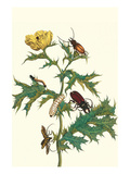 Mexican Prickly Poppy a Longhorned Beetle and an Elateridae Beetle Larva Posters af Maria Sibylla Merian