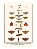 Yellow Tail Moth, White Satin, Moth, Oak Eggar, Caterpillar, Fly, Garden Tiger, Woolly Bear Print by Albertus Seba