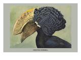 Crested Hornbill Poster af Louis Agassiz Fuertes