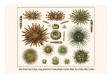 Slate Pencil Sea Urchins, Long Spined Sea Urchin, Hatpin Urchins, Black Sea Urchin, Mine Urchins Láminas por Albertus Seba