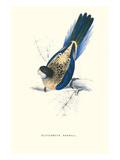 Brown's Parakeet - Platycercus Venustus Poster von Edward Lear