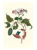Urucu Tree a Phidias Firetip Butterfly Premium-giclée-vedos tekijänä Maria Sibylla Merian