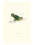 Abyssinian Parakeet - Agapornis Taranta Kunstdrucke von Edward Lear