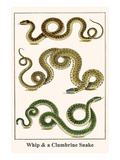 Whip and a Clumbrine Snake Posters by Albertus Seba