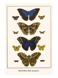 Butterflies, Blue Morphos, Print by Albertus Seba