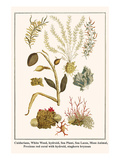 Cnidarians, White Weed, Hydroid, Sea Plant, Sea Laces, Moss Animal, etc. Prints by Albertus Seba