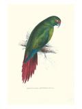 Long Billed Parakeet Macaw Enicogaathus Leptorhynchus Araucaria Poster von Edward Lear