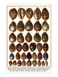 Tiger Cowries, Map Cowries, Atlantic Deer Cowries, Egg Cowries, Mole Cowries, Humback Cowries, etc. Print by Albertus Seba