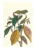 Cocoa Plant with Southern Army Worm Julisteet tekijänä Maria Sibylla Merian