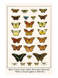 Blues, Calypso Caper Whites, Plain Tigers, Monarchs, Mimic or Danaid Eggflies, Caddis Flies Posters by Albertus Seba