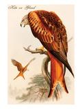 Kite or Glead Posters par John Gould