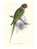 Footed Parakeet - Psittacula Eupatria Prints by Edward Lear