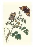 Coffee with Split-Banded Owlet Butterfly Julisteet tekijänä Maria Sibylla Merian