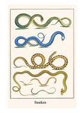 Snakes Art by Albertus Seba
