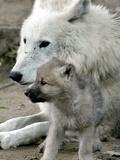 DEU BB Zoo Wolf Fotografisk tryk af Fritz Reiss