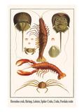 Horseshoe Crab, Shrimp, Lobster, Spider Crabs, Crabs, Porelain Crabs Plakat af Albertus Seba