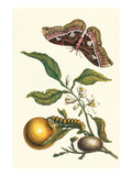 Seville Orange with a Golden Rothschild Butterfly Plakater af Maria Sibylla Merian