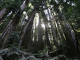 Travel Trip Muir Woods 100th Photographic Print by Eric Risberg