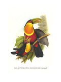 Red Breaster Toucan and Green Billed Affiche par John Gould