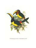 Lettered Aracari Affiches par John Gould