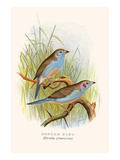 Cordon Bleu or Crimson Eared Waxbill Posters by F.w. Frohawk