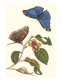 Epiphytic Climbing Plant with a Peleides Blue Morpho Butterfly and a Gulf Fritillary Posters af Maria Sibylla Merian