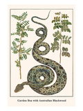 Garden Boa with Australian Blackwood Prints by Albertus Seba