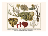 Cnidaria, Smooth Flower Coral, Golden Sea Fans, Lettuce Coral, Plate Coral, Fire Coral, etc. Art by Albertus Seba
