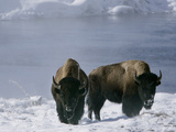 Norton Yellowstone Impressão fotográfica por Laura Rauch