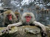 Japan Hot Spa Monkeys Lámina fotográfica por Koji Sasahara