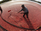 APTOPIX Cranberry Harvest Photographic Print by Charles Krupa