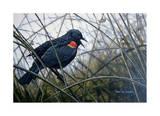 Red Winged Black Bird Posters par Don Li-Leger
