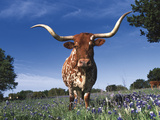 Texas Longhorn in Bluebonnets, Texas Photographic Print by Lynn M. Stone
