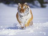 Tiger Running in Snow Fotografisk tryk af Lynn M. Stone