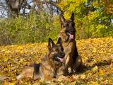 German Shepherd Dog in Fall Color Photographic Print by Lynn M. Stone