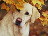 Yellow Labrador Retriever and Maple Leaves, Portrait Impressão fotográfica por Lynn M. Stone