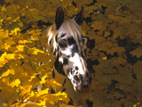 Appaloosa Portrait in Maple Leaves, Illinois Photographic Print by Lynn M. Stone