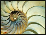 Close-up of Nautilus Shell Spirals Framed Canvas Print by Eric Kamp