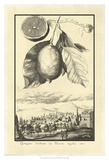 Crackled Lemon of Scorza Poster von Johann Christof Volckamer