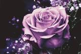 Rose on Black Stampe