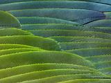 Military Macaw Wing Feathers, Ara Militaris, Peru Premium fotografisk trykk av Frans Lanting