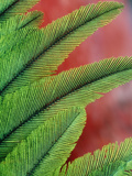 Resplendent Quetzal Feathers, Pharomachrus Mocinno, Costa Rica Reproduction photographique par Frans Lanting