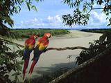 Scarlet Macaws Overlooking Tambopata River, Ara Macao, Tambopata National Reserve, Peru Lámina fotográfica prémium por Frans Lanting