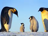 Emperor Penguins Showing Paternal Response to Puppet, Aptenodytes Forsteri, Weddell Sea, Antarctica Fotografie-Druck von Frans Lanting