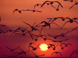 Shorebirds in Flight with Setting Sun, Delaware Bay, New Jersey Photographic Print by Frans Lanting