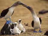 Blue-Footed Booby Pair with Chicks, Sula Nebouxii, Galapagos Islands Reproduction photographique par Frans Lanting