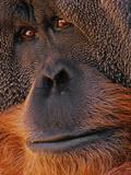 Bornean Orangutan, Pongo Pygmaeus, Sabah, Borneo Fotografie-Druck von Frans Lanting